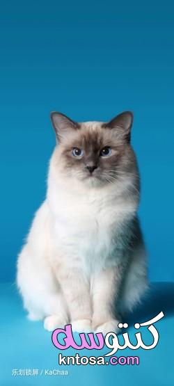 بالصور أجمل قطط في العالم 2022 kntosa.com_01_21_161