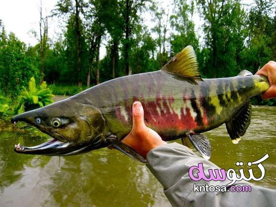 أنواع سمك السلمون بالصور kntosa.com_01_21_161