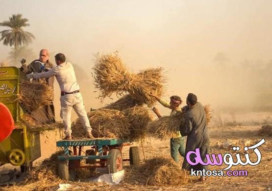 بالصور موسم حصاد القمح الفيوم ٢٠٢١ kntosa.com_01_21_161