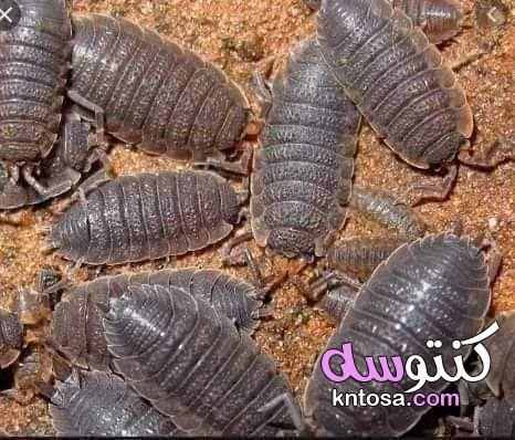 حيوان قمل الخشب (woodlice) - oniscidae kntosa.com_03_21_162