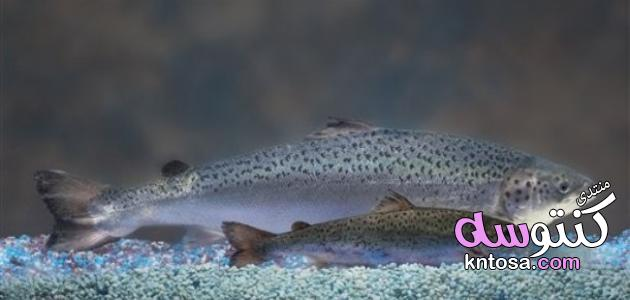أين يعيش سمك السلمون ,غذاء سمك السلمون,حياة سمك السلمون kntosa.com_05_19_154