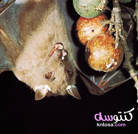 ليست عمياء ويصنع منها البارود 4 معلومات مذهلة عن الخفافيش kntosa.com_06_19_157