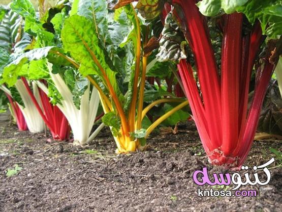 أنواع نباتات الظل - عالمك،زراعة اسهل نبات ظل فى المنزل kntosa.com_06_20_159