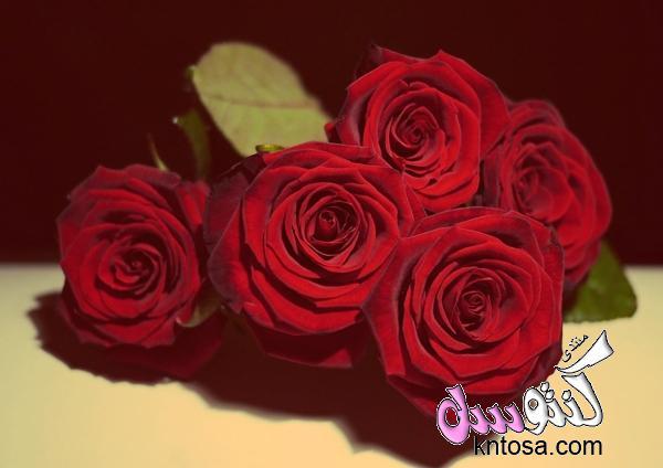 صور ورد جوري جديدة 2018,اجمل الورود الحمرا,ورد جميل,ورد جورى روعه,ورد احمر kntosa.com_08_18_153