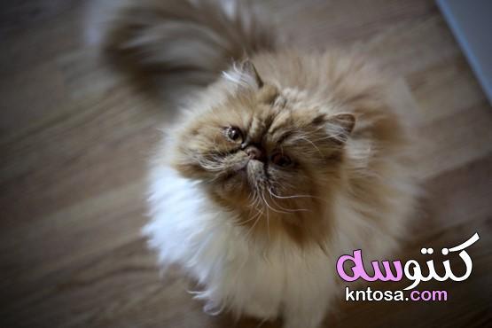 ما هي الرعاية التي تتطلب القط الفارسي؟ kntosa.com_09_20_157