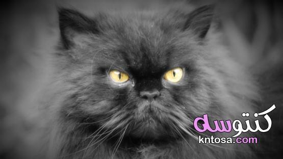 ما هي الرعاية التي تتطلب القط الفارسي؟