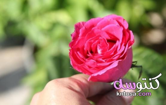 كيفية تجفيف بتلات الورد