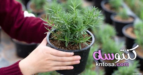 طريقة زراعة الروزماري في المنزل