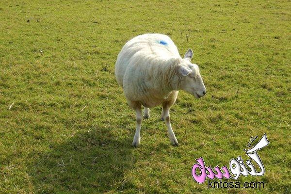 علامات الحمل عند الغنم,كيف نعرف ان الماعز عشار.كيف اعرف حمل الماعز.كيف تعرف النعجه الحامل.علامات حمل kntosa.com_10_18_153