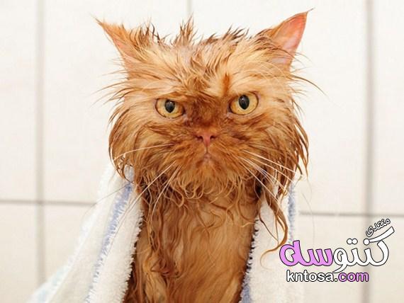 تنظيف القطط,كيف تستحم القط,طريقة استحمام القطط,كيفية حموم القطة kntosa.com_10_19_155
