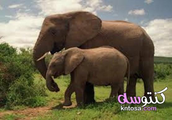 غرائب وعجائب عن الأفيال , غرائب وطرائف الأفيال kntosa.com_10_19_156
