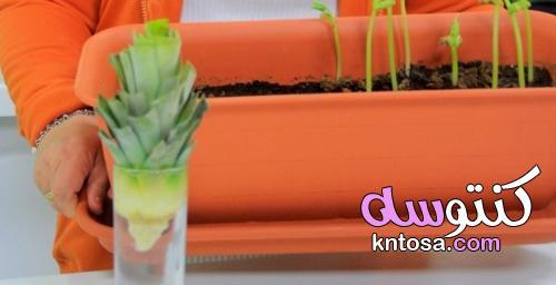 طريقة زراعة الأناناس فى المنزل بالصور - منتدى كنتوسه