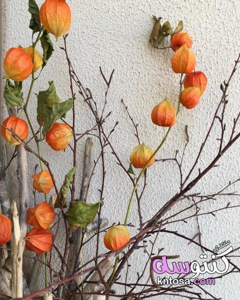 نبات الحرنكش,صور نبات الحرنكش,صور الحرنكش,الحرنكش عمرك شفت شجرة kntosa.com_12_19_155