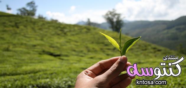 زراعة الشاي الاخضر.كيفية زراعة الشاي بالخطوات.زراعة الشاي الاسود.كيفية زراعة الشاي.مناخ زراعة الشاي kntosa.com_14_18_153
