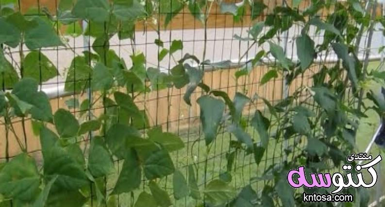 دراسة جدوى زراعة الفاصوليا.طريقة زراعة الفاصوليا داخل البيوت المحمية,كيفية زراعة البيوت المحمية kntosa.com_15_18_153