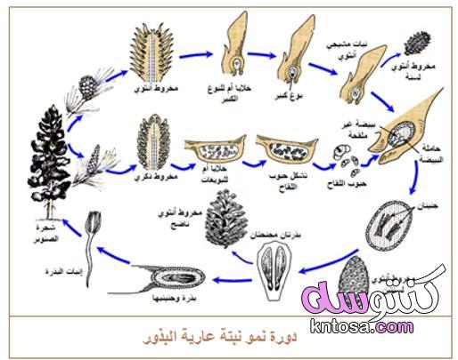 امثلة على نباتات معراة البذور kntosa.com_15_21_163
