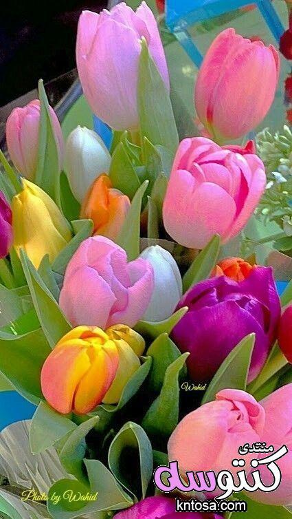 الصور ورود,ورود رومانسية,ورود الحب,ورد طبيعى,احلى صور ورود 2018 جوده عالية,صور زهور منوعة kntosa.com_17_18_153