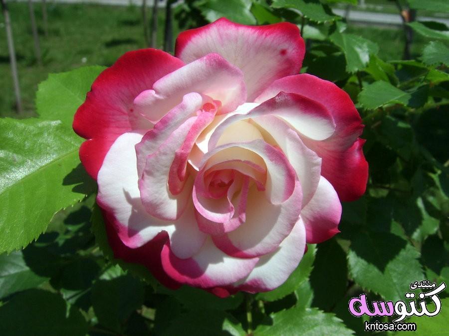 صور ورد,صور ورد احمر,صور ورد جميلة,صور زهور منوعة, اجمل صور ورد 2019,صور جميلة, صور ورود kntosa.com_17_18_153