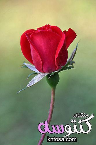 صور ورد بلدي,صور ورد جوري,اجمل ورد احمر رومانسي,ورد احمر طبيعي,ورود رومانسية kntosa.com_18_18_153