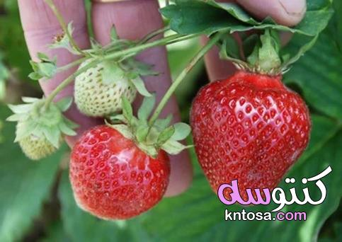 كيف تزرع الفراولة من بذورها؟ kntosa.com_18_21_162