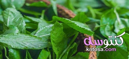 بخطوتين.. ازرع الملوخية في المنزل kntosa.com_18_21_163