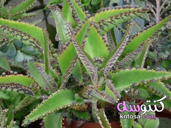 كيف ينمو Kalanchoe degremona في المنزل - الحديقة - 2020 خصائص الشفاء