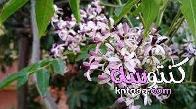 شجرة السبحبح بالصور .. والفرق بينها وبين النيم kntosa.com_19_21_162