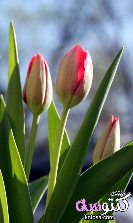 ورود رومانسية جدا,صور ورود حمراء جديدة 2018,صور ورود رومنسية لعشاق,صور رومانسية,ارق قلوب وورود kntosa.com_20_18_154