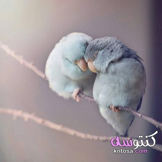 طيور الحب,بادجي ولوف بيرد رومنسي,طيور الفيشر في لحظات رومانسية,الرومانسية عند الطيور kntosa.com_21_19_156