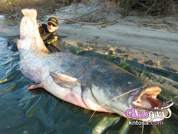 أكبر أسماك المياه العذبة في العالم, بالصور اضحم انواع الاسماك, اكبر سمكه على وجه الارض,ماهي اكبر سمك kntosa.com_30_19_154