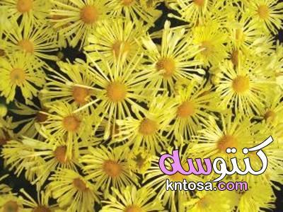 انواع زهرة الاقحوان