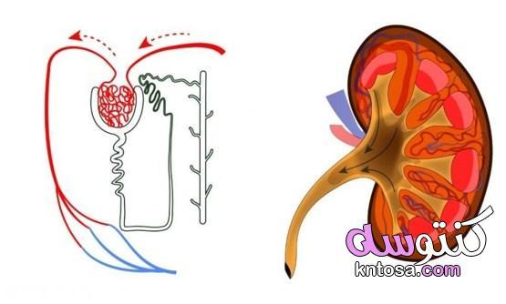 أضرار مدرات البول وفوائدها وأشهر 7 مشروبات للعلاج kntosa.com_30_21_161
